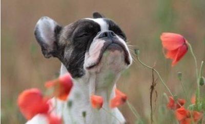 cachorro entre flores respirando de olhos fechados