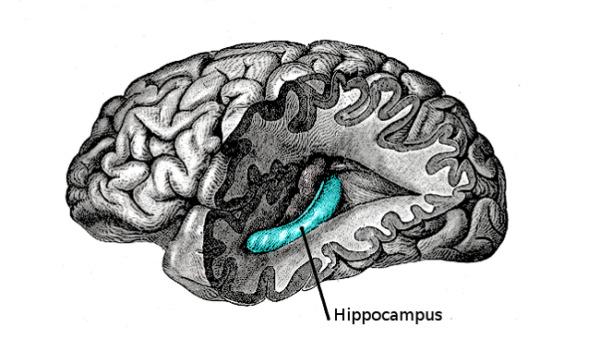 figura mostrando posição do hipocampo no cérebro